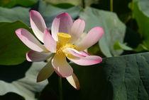 Lotusblüte und grüne Blätter by Christine  Hofmann