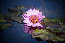 rosa Seerose im blauen Teich -2- von Christine  Hofmann
