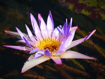 lila Seerose - 2- von Christine  Hofmann