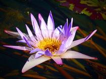 lila Seerose by Christine  Hofmann