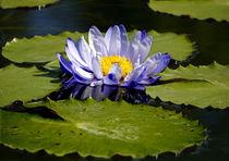 blaue Seerose mit grünen Blätter von Christine  Hofmann