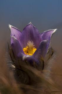The genus Pulsatilla  by Odon Czintos