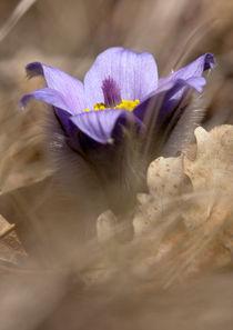 Purple Pulsatilla grandis  by Odon Czintos