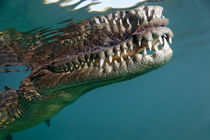 Crocodylus-porosus