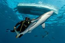 Shark-conqueror