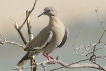 White-winged Dove von Pat Goltz