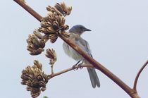 Mexican Jay on Agave by Pat Goltz