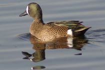 Blue-winged Teal von Pat Goltz