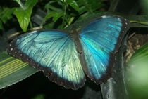 Blue Morpho by Pat Goltz