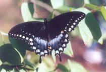 Spicebushswallowtail