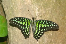 Tailed Jay by Pat Goltz