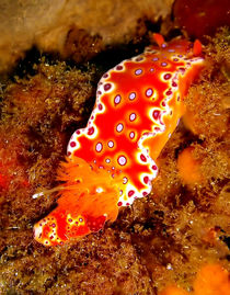 Bright Orange Nudibranch von serenityphotography