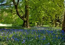 Bluebell-spring-27apr2011-0171