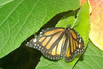Monarch Butterfly by Pat Goltz