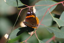 Red Admiral by Pat Goltz