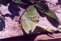 Luna Moth von Pat Goltz