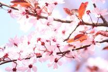 Zierpflaume Blüten rosa von alsterimages