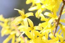 Forsythie gelb von alsterimages