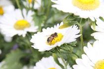 Margeriten mit Biene von alsterimages