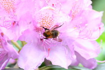 Rhododendron rosa mit Hummel by alsterimages