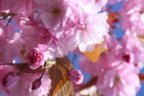 Kirschblüten von alsterimages