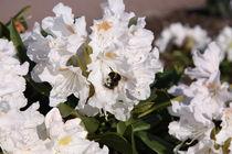Rhododendron von alsterimages