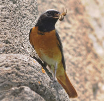Common Redstart von lagarto