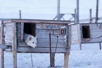 Husky Sled Dog Ready for a Run von Benjamin So