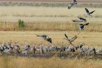 Sandhill Cranes Landing by Pat Goltz
