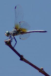 Birddragon577312crop2bluedasher