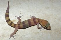Tucson Banded Gecko by Pat Goltz