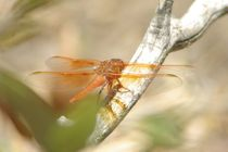 Flame Skimmer by Pat Goltz