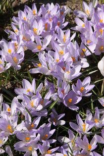 Krokusse violette weiß von alsterimages
