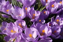 Krokusse violette von alsterimages