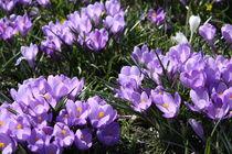 Krokusse violette by alsterimages