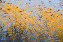 Autumn coloured reeds moving in the wind by kbhsphoto