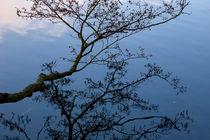 Branch of Alder tree with reflection in water von kbhsphoto