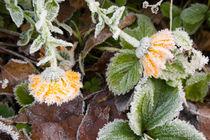 Marigold covered in hoar frost von kbhsphoto