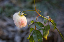 Pink rose with hoar frost by kbhsphoto