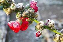 Hollyhock covered in frost von kbhsphoto