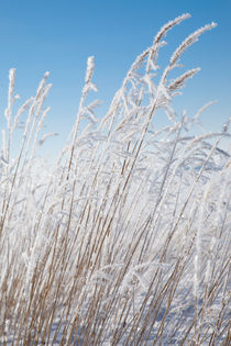 Reeds with hoar frost by kbhsphoto