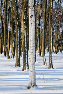 Trunk of birch tree in front of alder trunks by kbhsphoto