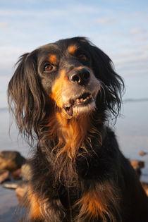Smiling gordon setter mix dog von kbhsphoto