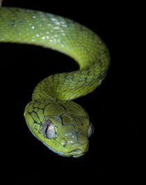 Green cat snake by lagarto