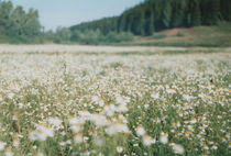 camomile field, Russia by yulia-dubovikova