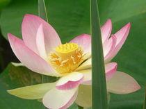 Lotusblüte von mitlichtmalen