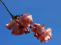 Japanische Kirschblüte by Wolfgang Dufner