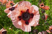 Big pink poppy, Papaver Orientale von kbhsphoto