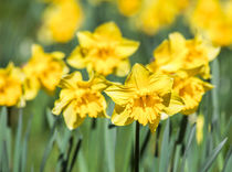 Daffodils in Spring by Graham Prentice