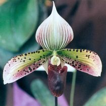 Slipper Orchid by Pat Goltz